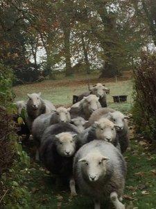 Schafe Umzug